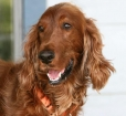 Irish Setter, 1 year, Red